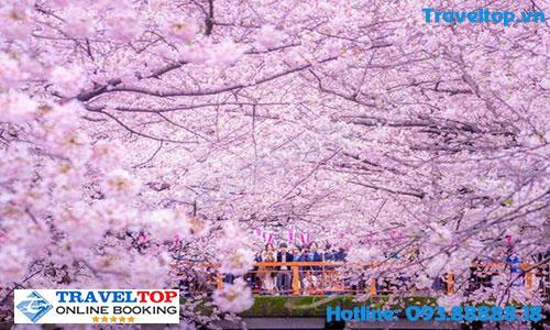 Mùa hoa anh đào ở Nhật Bản vào tháng mấy